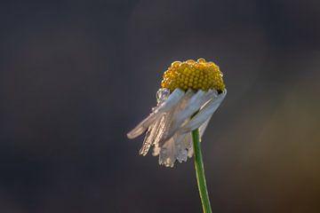 Gänseblümchen im Wind von Tania Perneel