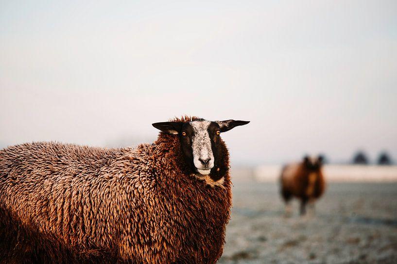 Schafe im gefrorenen Morgenlicht von Lindy Schenk-Smit