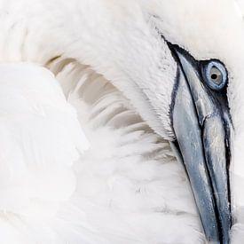 Gannet bird/Jan van Gent van Rick Ermstrang