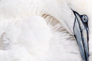 Gannet bird/Jan van Gent von Rick Ermstrang