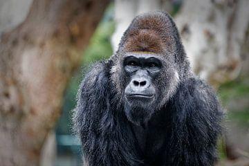 Gorilla portret met wazige achtergrond