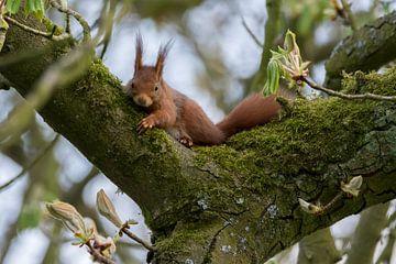 Rustende eekhoorn van Marcel Pietersen