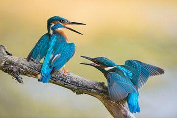 Eisvogel, Eisvögel * Alcedo atthis *, alt und jung im Streit von wunderbare Erde