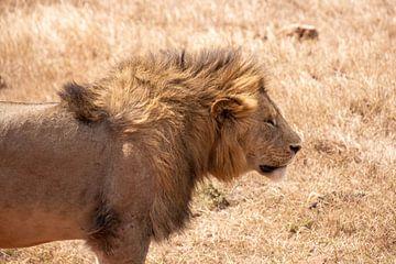Löwe in der Sonne in Tansania von Mickéle Godderis