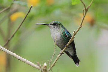 Kolibrie in El Dorado, Sierra Neveda van Anneke Ruys