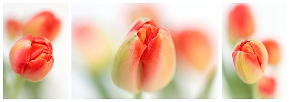 Fresh Tulips (Drieluik....) (bloem, tulp, lente, oranje)