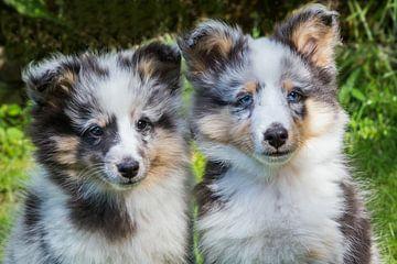 Portrait von zwei jungen sheltie Hunde draußen im Garten von Ben Schonewille