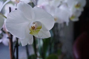 Orchidee von Diana van Dalen
