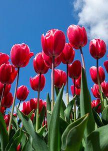 Tulpen in de lucht