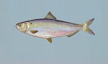 Alosa aestivalis (Blueback herring) von Fish and Wildlife