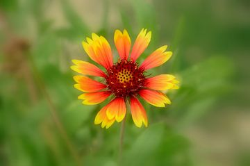 Geel rode Italiaanse bloem van