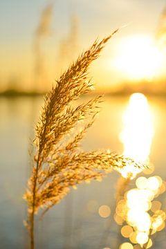 Winter riet bij de rivier tijdens zonsondergang met het licht weerkaatsend in het water. van Sjoerd van der Wal