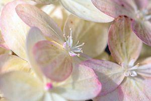 Weisse Blüte mit rosa