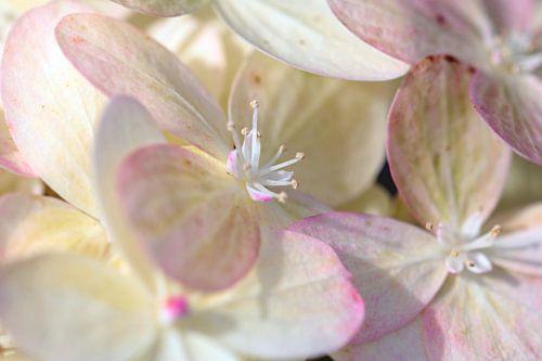 Weisse Blüte mit rosa van