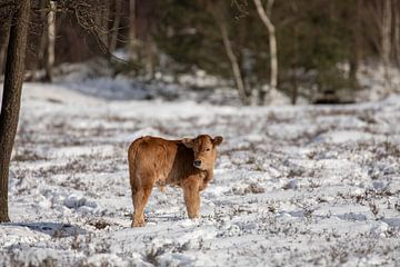 Tauros kalf in de sneeuw in t bos