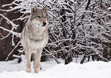 Wölfin steht schön und stolz und freut sich im verschneiten Winterwald, einem mächtigen Raubtier. von Michael Semenov