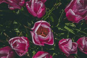 Schöne rosa Tulpen von Kelly Sabrina