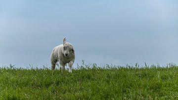 Lamm auf Terschelling 2 von Marianne Twijnstra-Gerrits