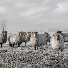 Moutons dans le polder sur MS Fotografie | Marc van der Stelt