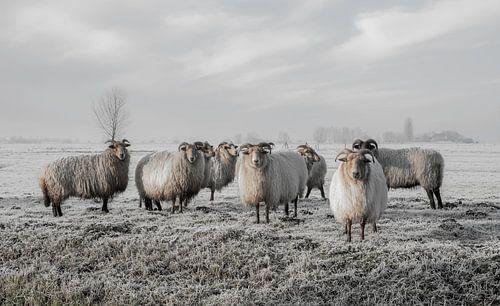 Schafe im Polder von MS Fotografie