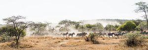 Zebra's op de vlucht in de Serengeti van