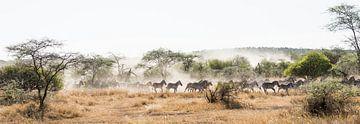 Zebra's op de vlucht in de Serengeti van Jeroen Middelbeek