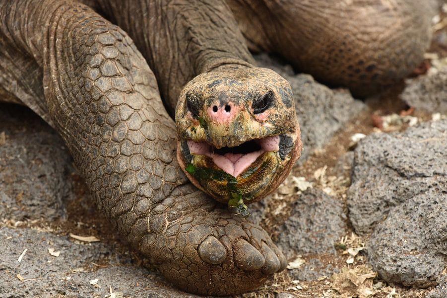 Galápagosreuzenschildpad van Frank Heinen