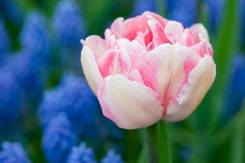 Wit-roze tulp - Keukenhof