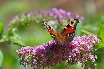 Pfau auf Schmetterlingsstrauch von Picture Partners