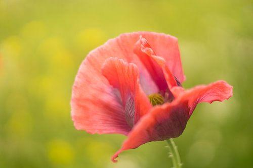 Zachtjes zijn de bloemblader geopend in de warmte van de zomer.  van