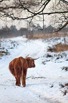 Schotse Hooglander in de sneeuw van Evert Jan Kip