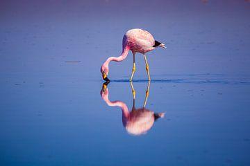 Flamingo met een perfecte weerspiegeling van Chris Stenger