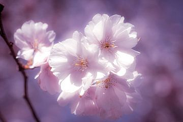 Makro zart blühende Kirschblüte mit Bokeh und Tonung von Dieter Walther