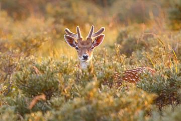 fallow deer von Pim Leijen