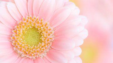 Pink Gerbera Daisy van Dominiek Cottem