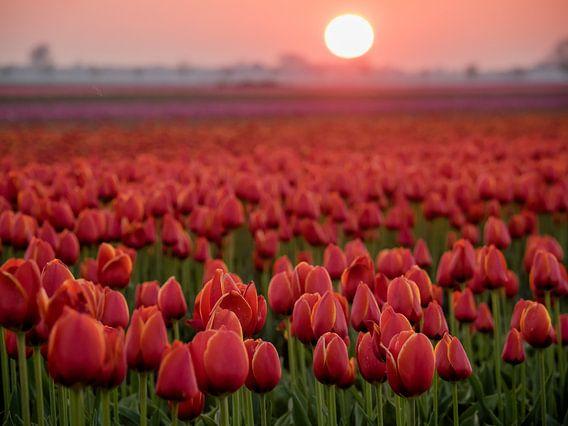 Rote Tulpen auf einem Gebiet