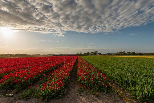 Tulpenvelden in Noordwijkerhout van