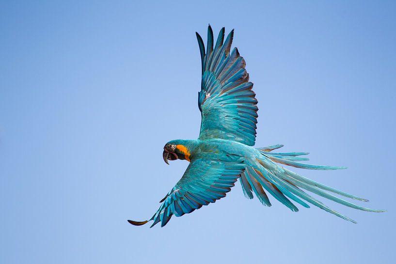 Vliegende Papagaai van Ulrich Brodde