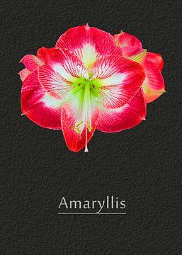 Amaryllis von Leopold Brix