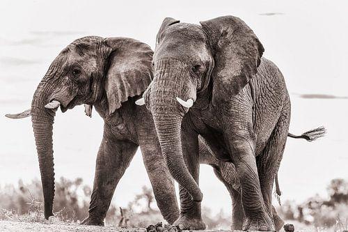 Zwei schelmische Elefanten von De Afrika Specialist