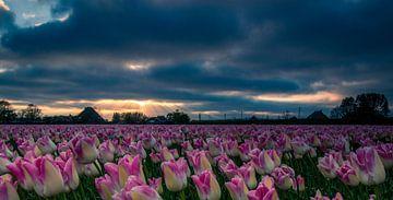 tulpenveld van Peter Heins