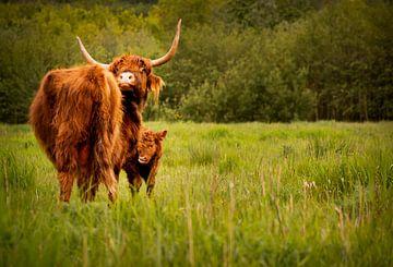 Schotse hooglander met jong van Dirk Keij-Bron