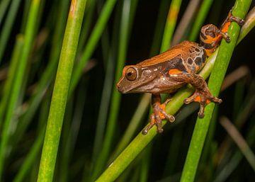 Dendropsophus-Froscharten in der Schilfvegetation von Thijs van den Burg