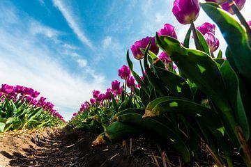 Tulpenveld gezien vanaf de Grond van Brian Morgan