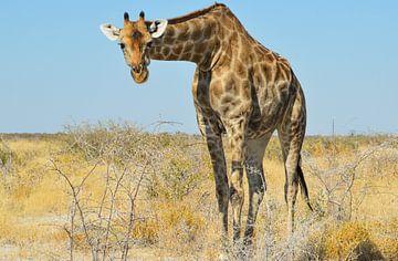 Giraffe in Namibië, Afrika von E. Blaauwwiekel