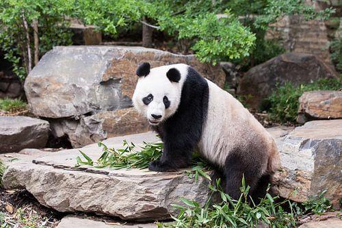 Een panda op een rotsblok met zijn eten tussen zijn voorpoten van Henk van den Brink