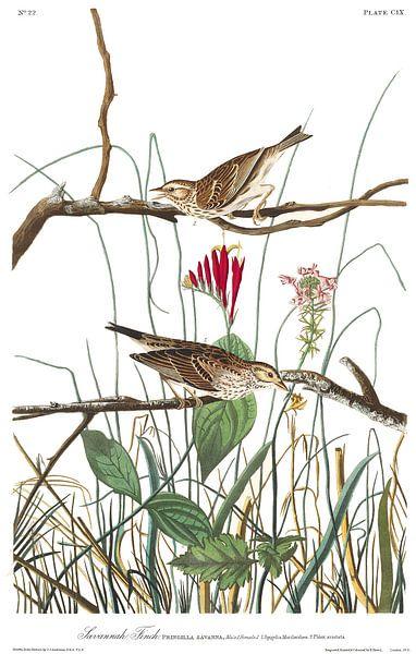 Savannahgors van Birds of America