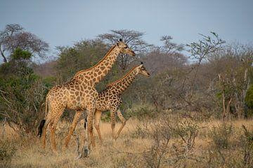 Giraffen in Afrika von Mariëlle de Valk
