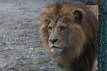 Leeuw in Burgerszoo. Lion in Burgerszoo. van Anja Bos