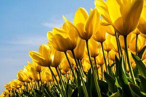 Veld gele tulpen van
